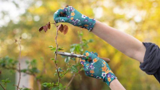 En automne, comment prendre soin de vos rosiers ?